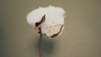 What is cotton? Why did BILLYBELT choose it carefully?